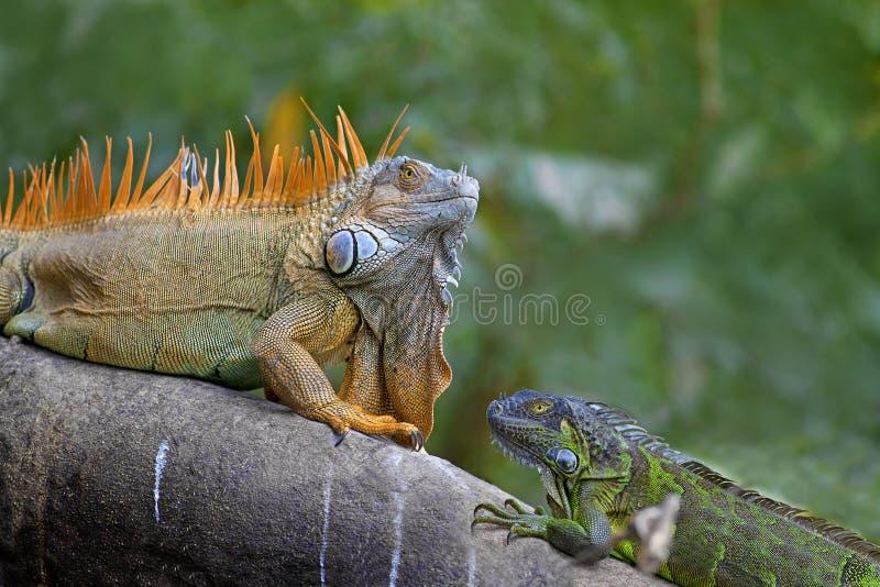 比赛绿色鬣鳞蜥联接 库存图片