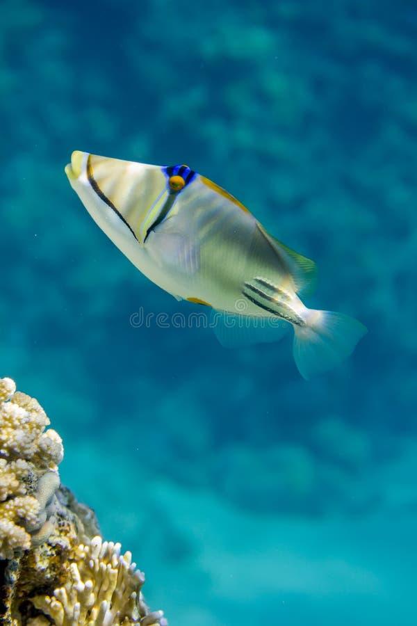 毕加索鱼 免版税库存照片