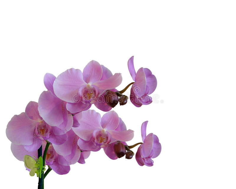 毗邻空白花卉查出的兰花 皇族释放例证