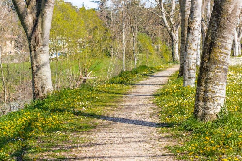 毗邻乡下公路的桦树在雏菊和丹附近的领域 免版税图库摄影