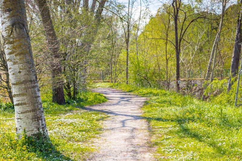 毗邻乡下公路的桦树在雏菊和丹附近的领域 库存图片