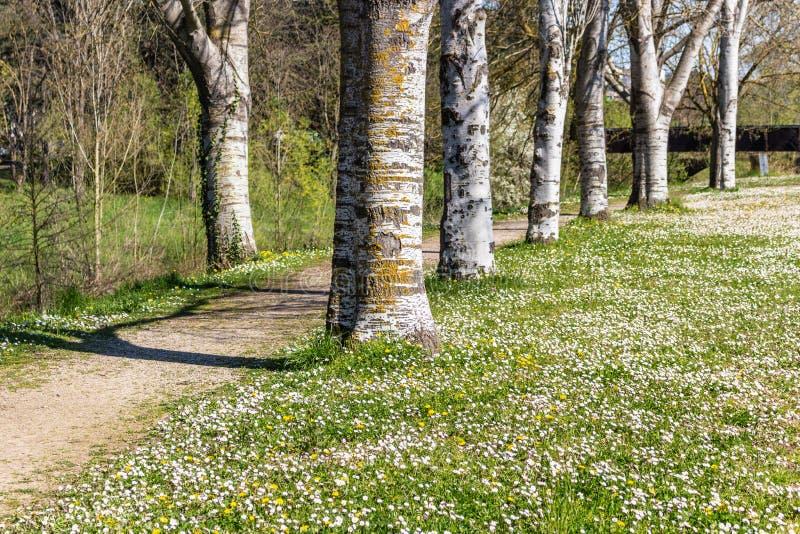 毗邻乡下公路的桦树在雏菊附近的领域 库存图片