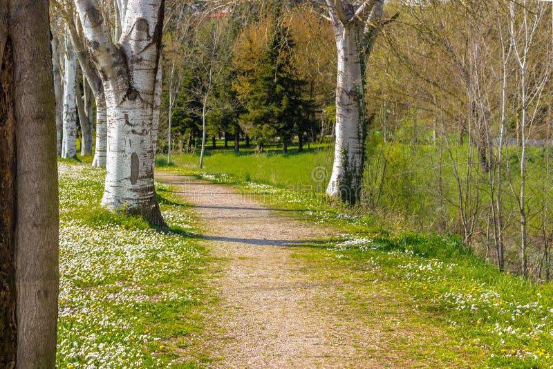 毗邻乡下公路的桦树在雏菊附近的领域 库存照片