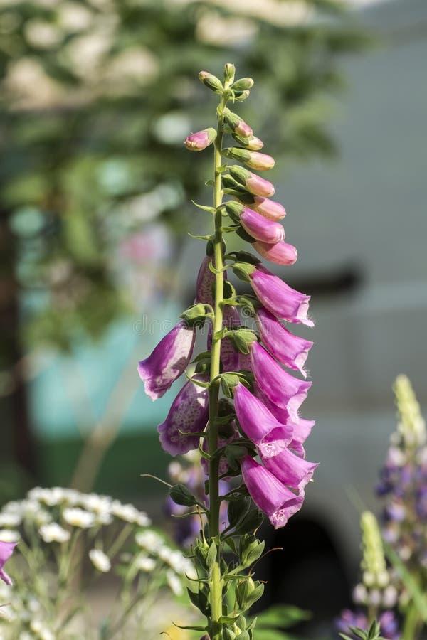 毛地黄属植物紫色花与紫色斑点的 种类糖果山 库存图片