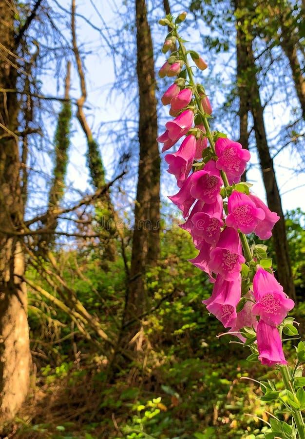 毛地黄属植物花卉生长在森林 库存照片