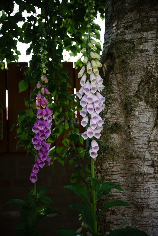 毛地黄属植物, Vingerhoedskruid,洋地黄purpurea, tweejarige giftige植物 免版税库存图片
