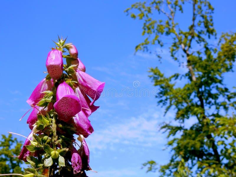 毛地黄属植物爱 库存图片