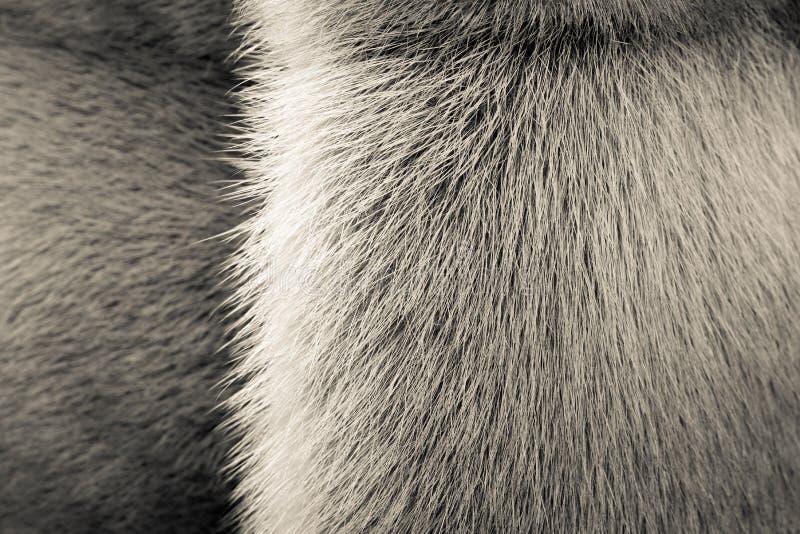 毛皮动物米黄纹理与小条的 免版税库存照片