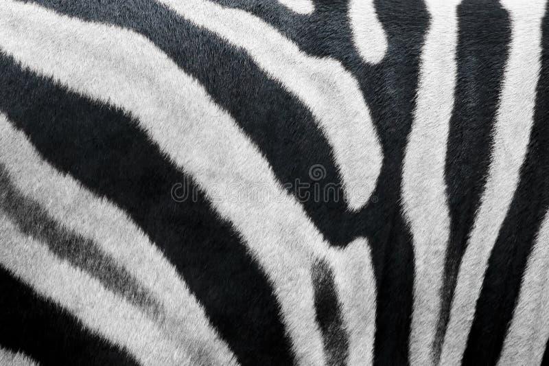 毛皮纹理斑马 免版税库存照片