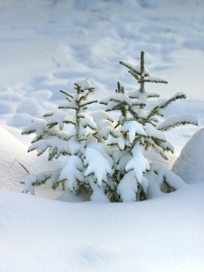 毛皮雪结构树 免版税库存照片