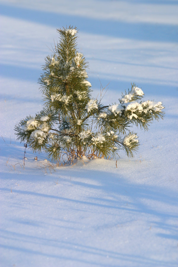 毛皮雪结构树 免版税库存图片