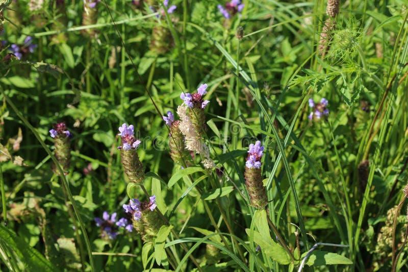 毛织品寻常的花,叫作共同的自已愈合,愈合所有,地球的woundwort、心脏,木匠草本、brownwort和蓝色 免版税库存图片