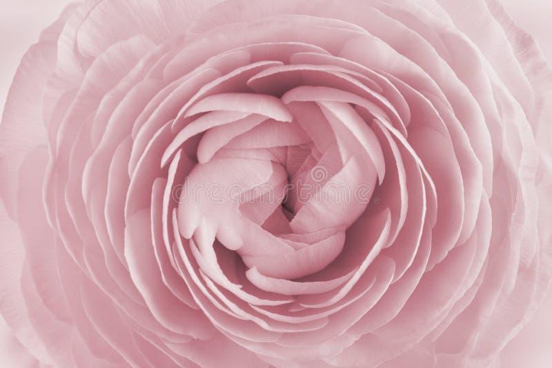 毛茛属特写镜头背景的,美丽的春天花,葡萄酒花卉样式 免版税库存照片