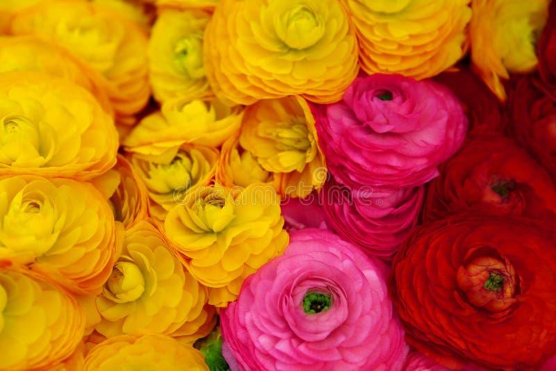 毛茛属美丽红色,桃红色和黄色花 库存照片