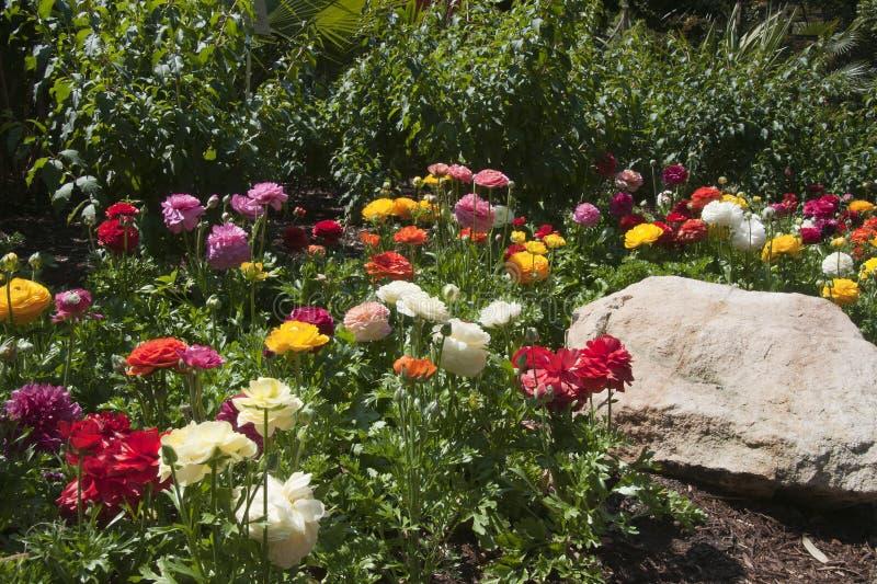毛茛属花圃在绽放的 图库摄影
