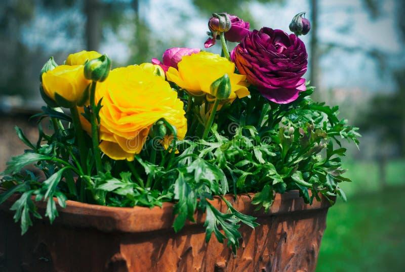 毛茛属asiaticus或波斯毛茛花 在罐的黄色和洋红色毛茛属花,在庭院里 免版税库存照片