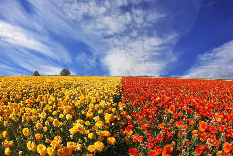毛茛橙色日落黄色 库存照片