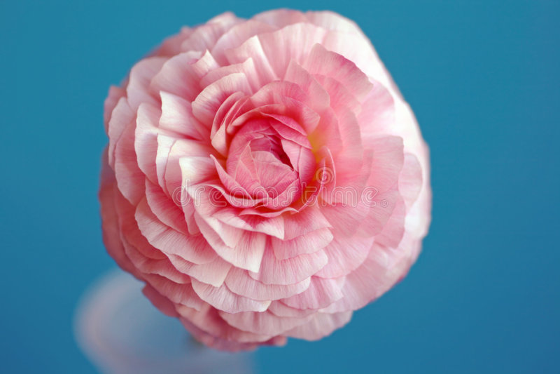 毛茛花粉红色 库存照片