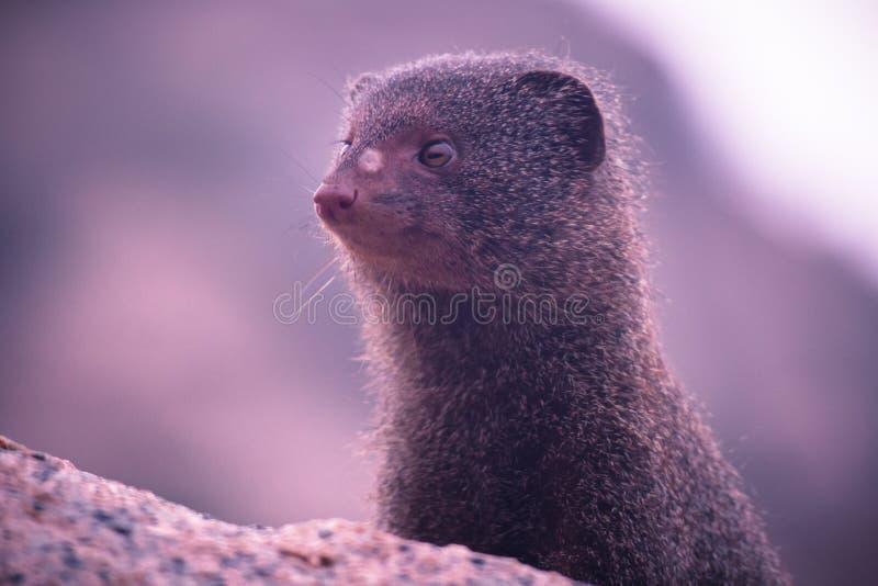 毛茸的哺乳动物的头 免版税库存照片