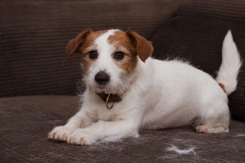 毛茸的杰克罗素狗,流洒头发在使用在沙发FURTNITURE的蜕变季节期间 图库摄影
