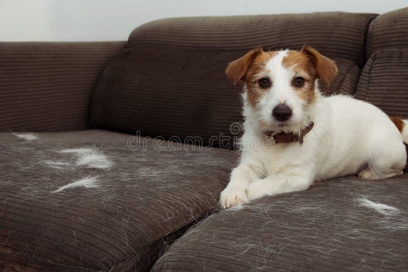 毛茸的杰克罗素狗,流洒头发在使用在灰色沙发家具的蜕变季节期间 免版税库存照片