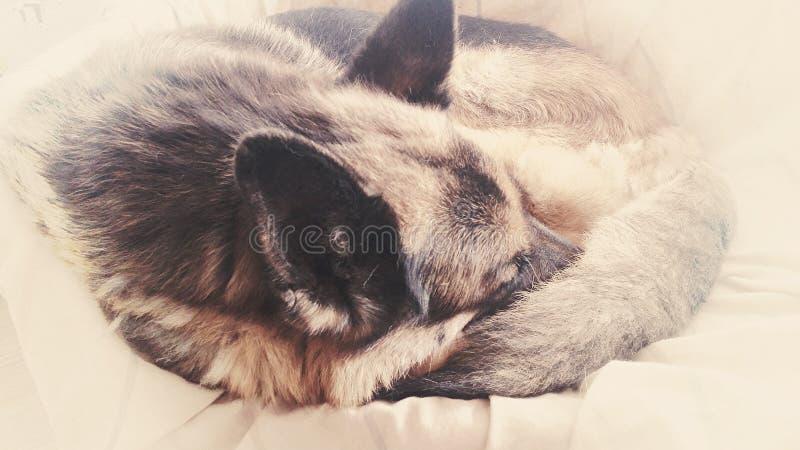 毛茸的睡觉宠物 免版税库存图片