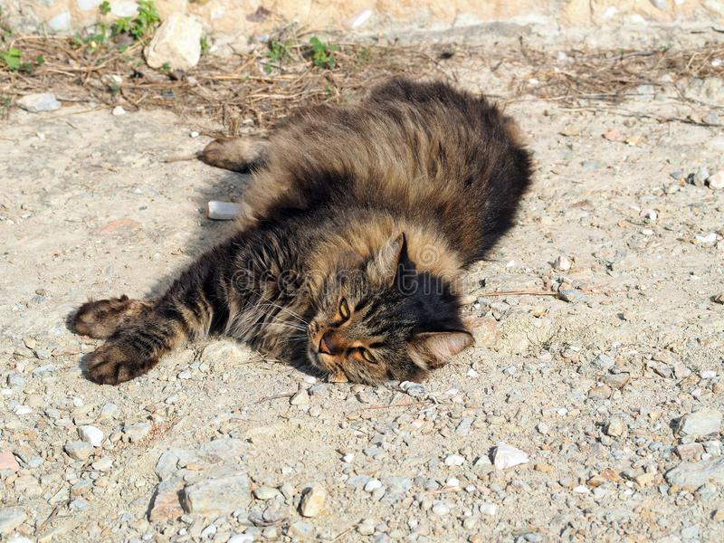 毛茸的肥胖离群猫,上城倾斜,雅典,希腊 免版税图库摄影