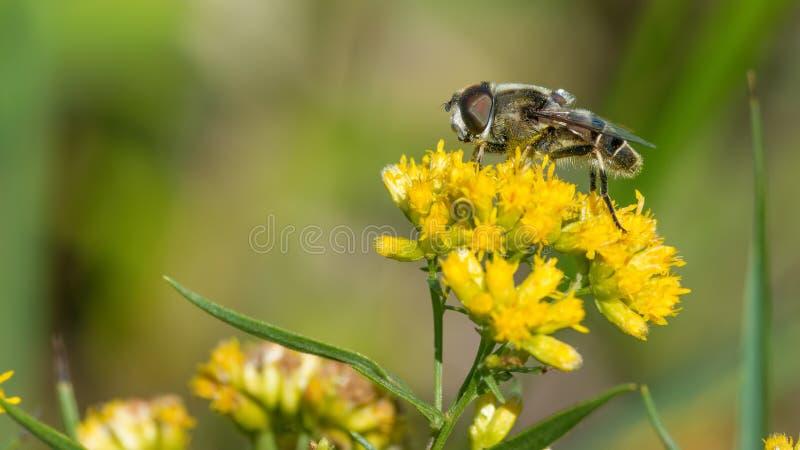 毛茸的飞行种类极端特写镜头在金毛茛黄色花的在Crex草甸野生生物地区在威斯康辛北部-了不起的d 免版税库存图片