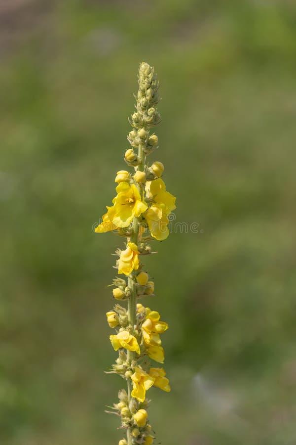 毛蕊花densiflorum,叫作denseflower mullein或密集开花的mullein 库存照片
