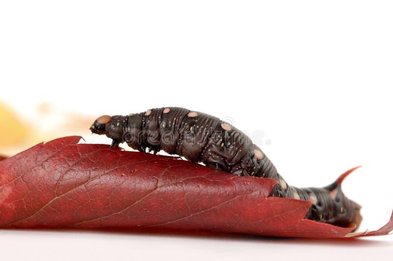 毛虫叶子红色 库存图片