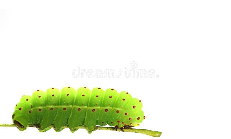 毛虫绿色 免版税库存图片