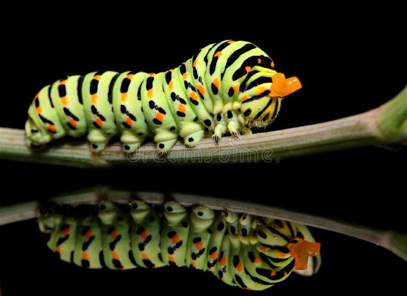 毛虫蝴蝶在黑背景的mahaon特写镜头与异常的反射 图库摄影