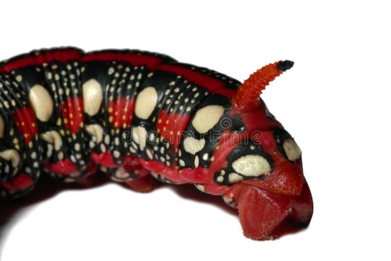毛虫龙表面红色 免版税库存照片