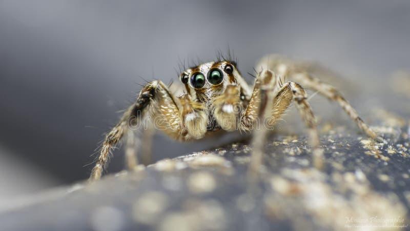 毛里求斯跳跃的蜘蛛 免版税库存图片