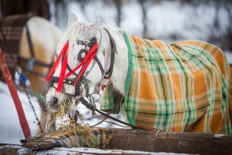毯子盖的马,吃干草 免版税库存照片