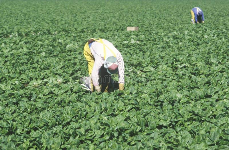民工收获庄稼在圣华金河 库存图片