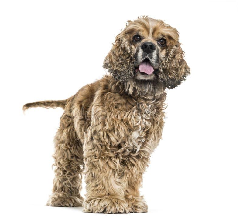 气喘反对白色背景的布朗Mixed-breed狗 库存照片