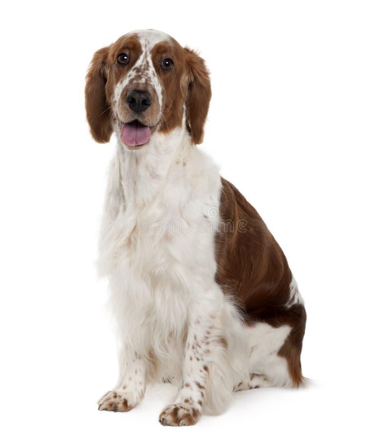 气喘的坐的西班牙猎狗蹦跳的人威尔&# 免版税图库摄影