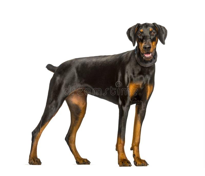 气喘短毛猎犬反对白色背景的狗身分 免版税库存照片