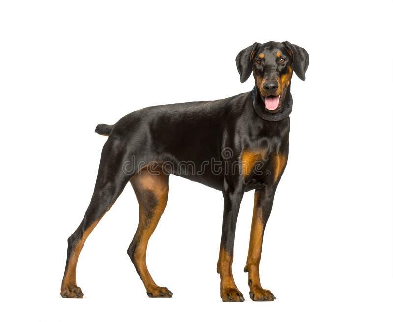 气喘短毛猎犬反对白色背景的狗身分 免版税图库摄影