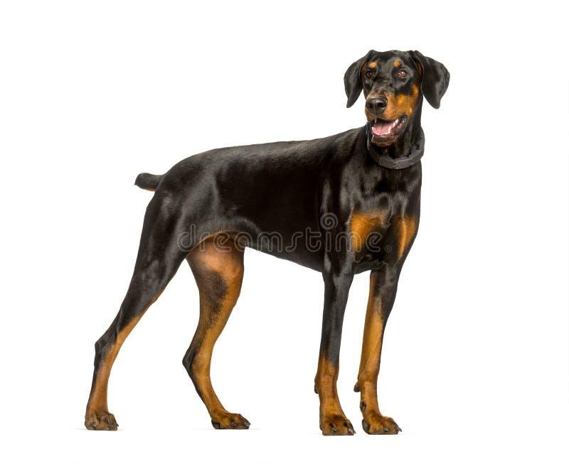 气喘短毛猎犬反对白色背景的狗身分 库存照片