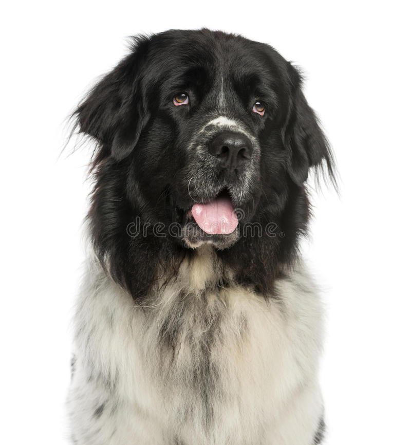 气喘纽芬兰的狗的特写镜头,查寻, 2岁 图库摄影