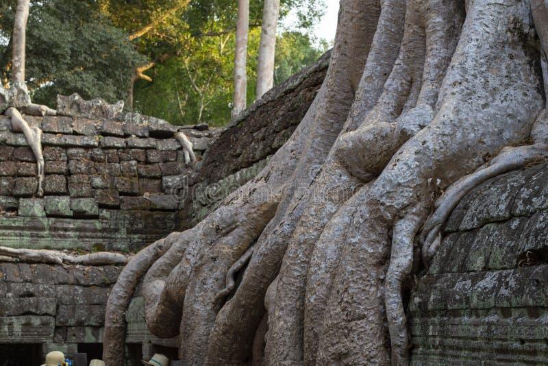 气生根或藤本植物在石墙 吴哥窟风景 消失的文明的密林森林 库存照片