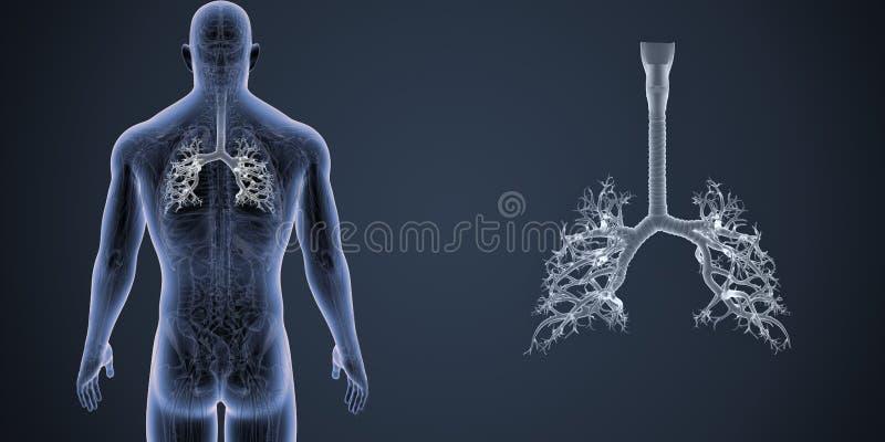 气管徒升有解剖学后部视图 向量例证