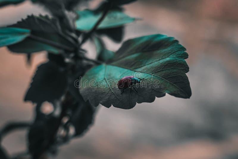 氖 一只红绿的甲虫沿植物的叶子爬行 库存图片