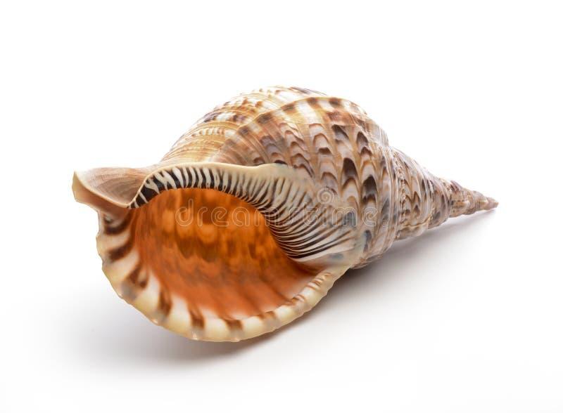 氚核的喇叭(Charonia tritonis)壳 图库摄影