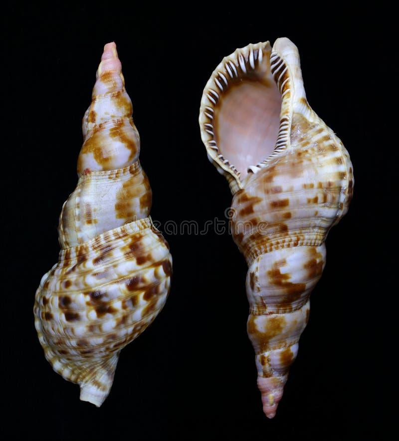 氚核` s喇叭Charonia tritonis的蛤壳状机件在黑暗的背景的 库存图片