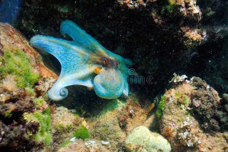 水下图象的章鱼 免版税库存照片