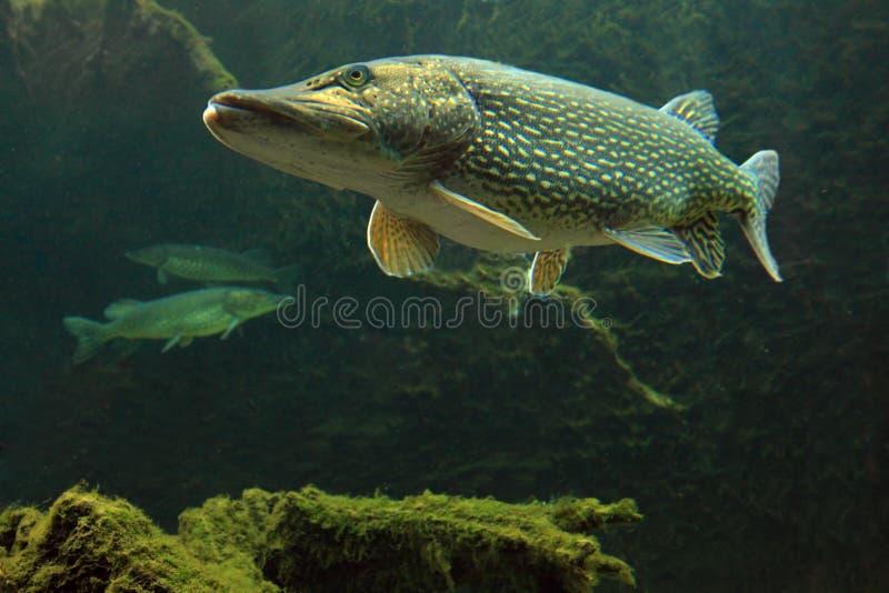水下大esox lucius照片的矛 库存图片