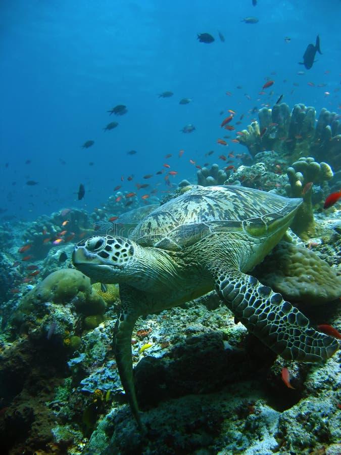 水下婆罗洲礁石sipadan的乌龟 库存图片